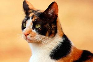 черепахового окраса кошки фото