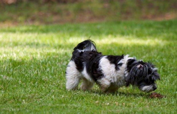 копрофагия у собак
