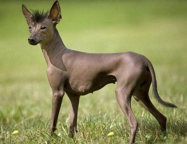 мексиканская голая порода собаки