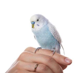 Как разводить волнистых попугаев дома