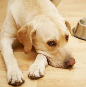 Как узнать, что у собаки глисты