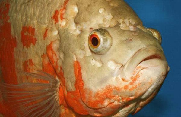 Гексамитоз у аквариумных рыбок: описание болезни и её причины, симптомы и лечение заболевания в домашних условиях в общем аквариуме