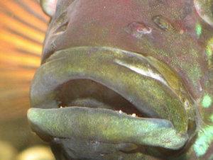 Гексамитоз — дырочная болезнь у рыб, симптомы и лечение