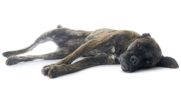 Туберкулез у собак - симптомы, диагностика и способы лечения