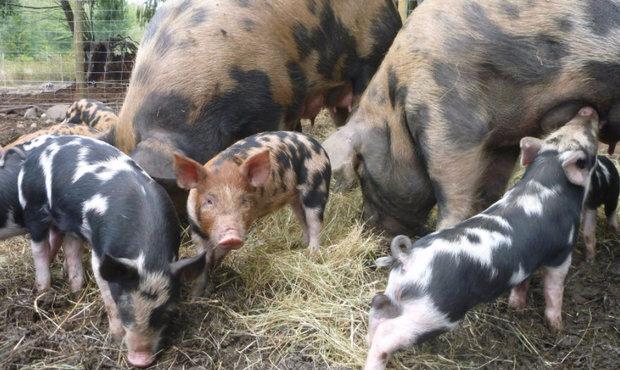 Свинья острова Осабо