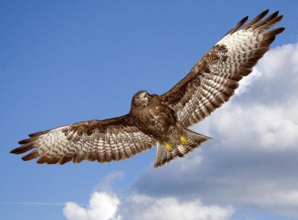 Самая быстрая птица в горизонтальном полете