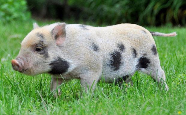Юлианская свинья