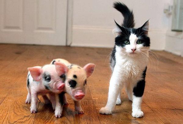 Мини-пиги: уход и содержание в домашних условиях
