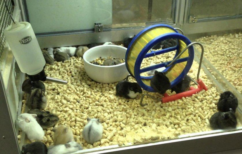 Джунгарские хомяки в зоомагазине