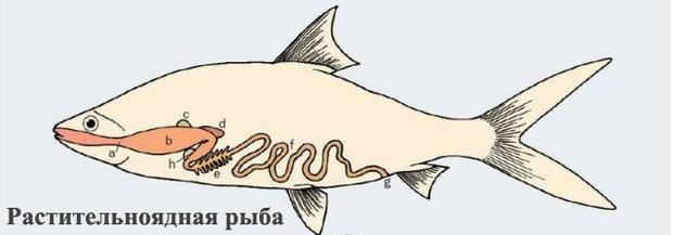 Растительноядная рыбка