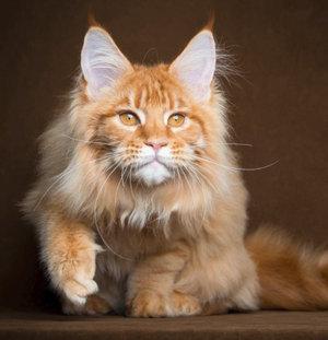кошки мейн кун характер