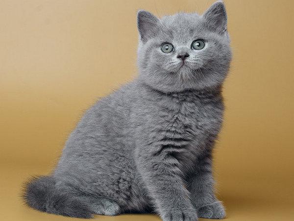 Как ухаживать за британским котенком Содержание и кормление в квартире