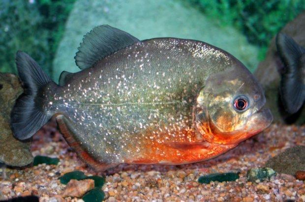 Пиранья амазонская  легенда в домашнем аквариуме