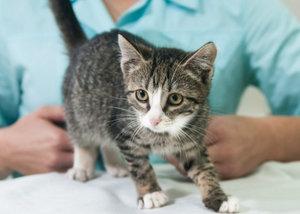 в каком возрасте делать первую прививку котенку