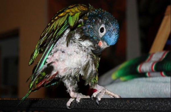 Почему попугай выдергивает у себя перья 92