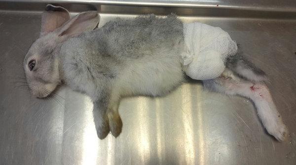 Почему у кроликов отказывают задние лапы и как лечить паралич