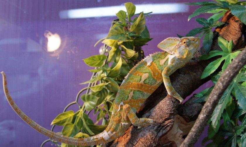 Условия для домашнего хамелеона