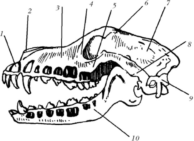 Парижа, черепа млекопитающих различных отрядов в картинках