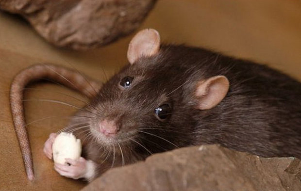 Еда для крыс