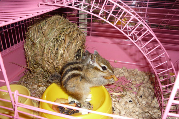 разведение бурундуков в домашних условиях