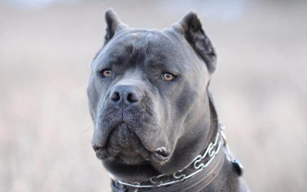 кане корсо собака описание породы