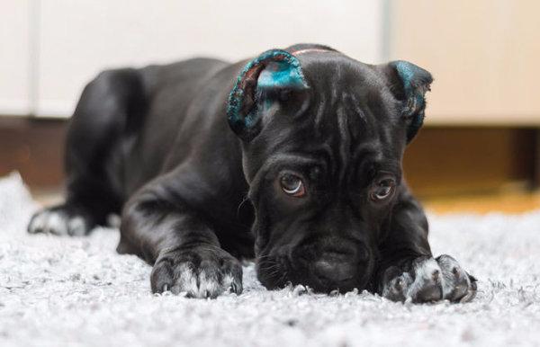 Очень дрессировка кане-корсо в домашних условиях воспитание щенка кане корсо прелестный