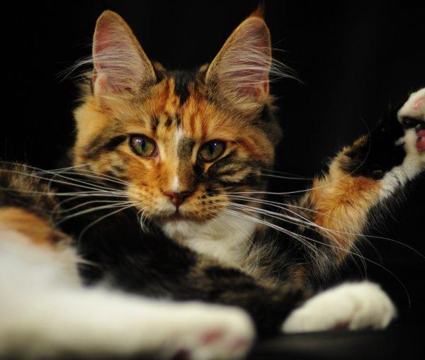 Трехцветная кошка (котенок) в доме: приметы и суеверия