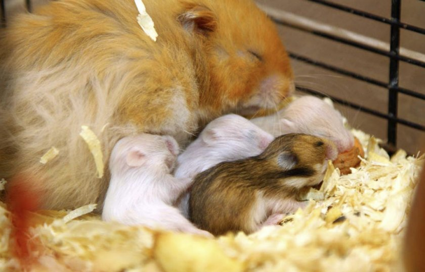 Самка с детёнышами