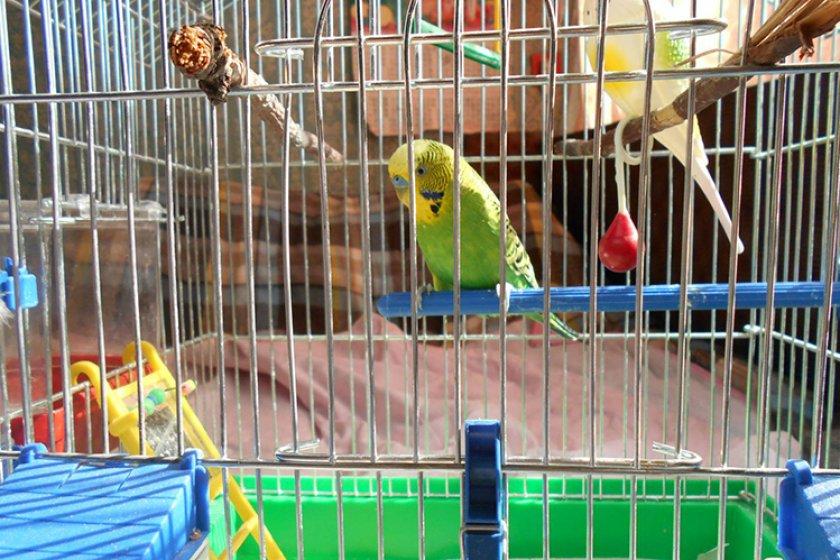 фотки попугаев в клетке обыной булавкой ощущения