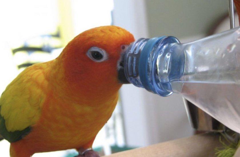 Попугай пьет воду