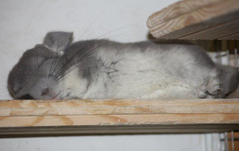 Шиншилла спит