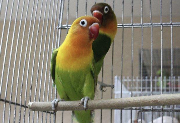можно ли держать одного попугая неразлучника