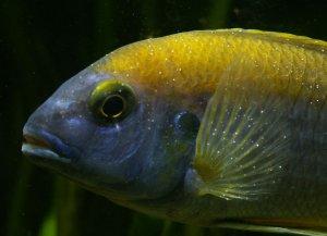 Ихтиофтириоз у рыб