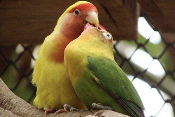 Попугай неразлучник может ли жить один