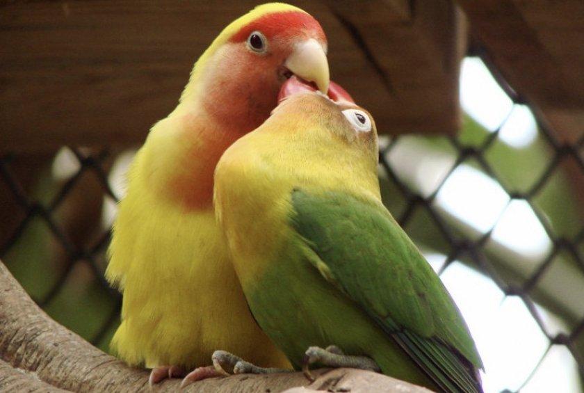 Брачный период у попугаев неразлучников