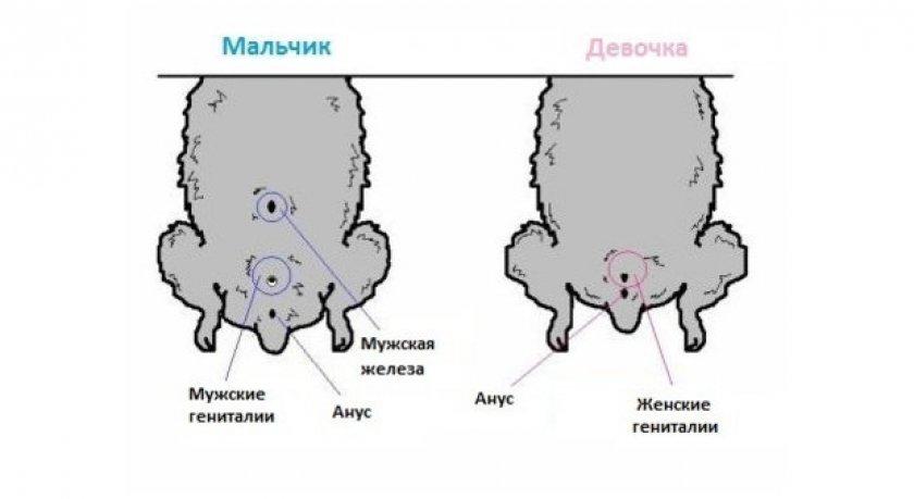 Схема расположения половых органов у хомяков