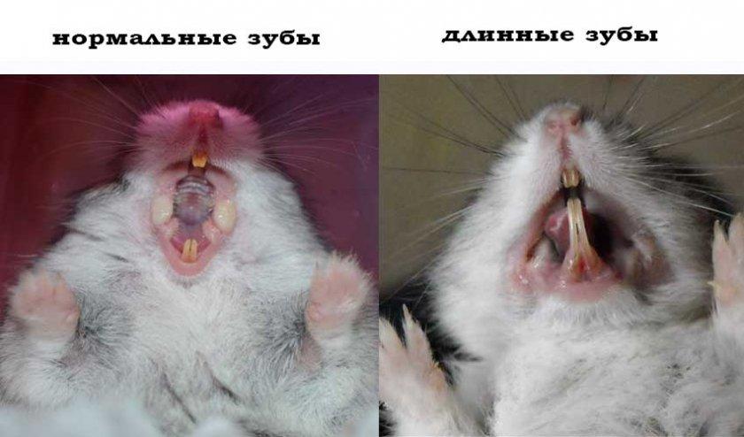 Нормальные и длинные зубы у хомяка