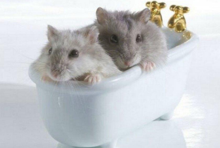 Хомяки в ванной