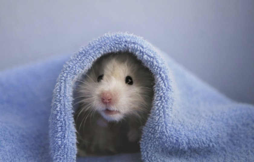 Хомяк в полотенце