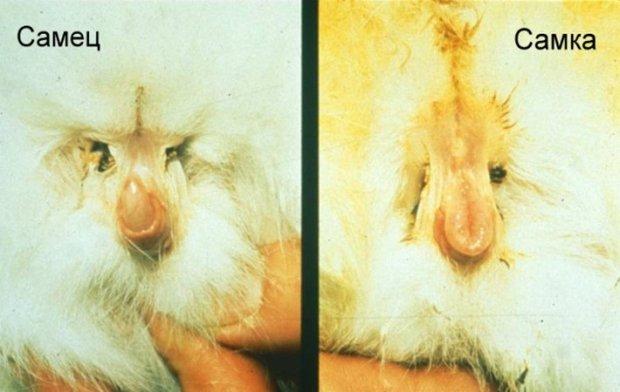 морская свинка девочка фото