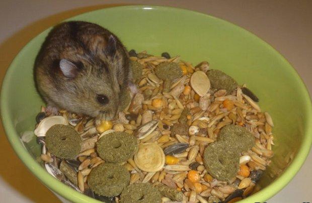 диета для джунгарского хомяка