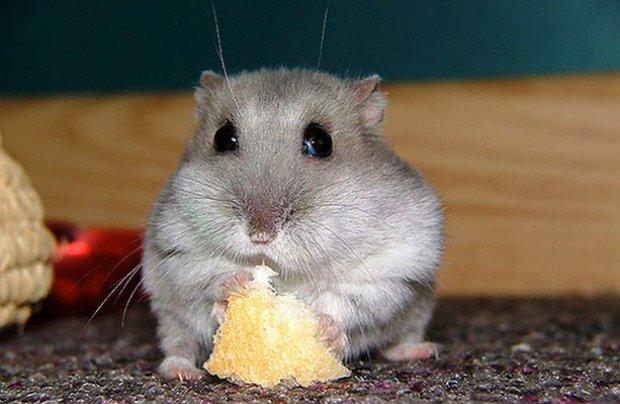 Хомяк кушает хлеб