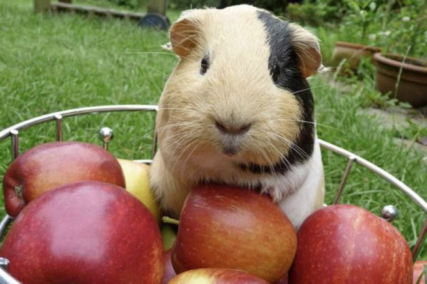 Морская свинка ест яблоки