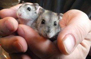 Маленькие хомячки