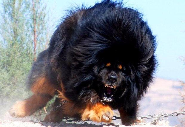 самый большой тибетский мастиф в мире
