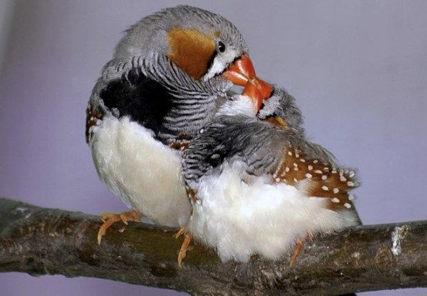 Самка и самец амадинов