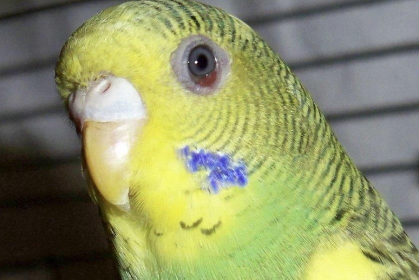 Красный глаз у волнистого попугая