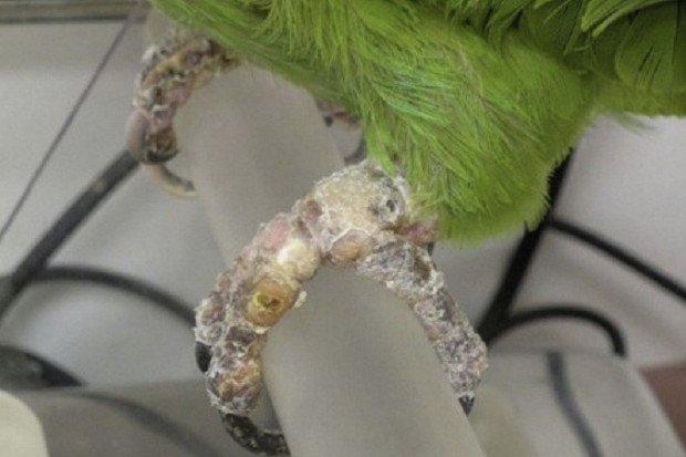 Чесоточный клещ у попугаев
