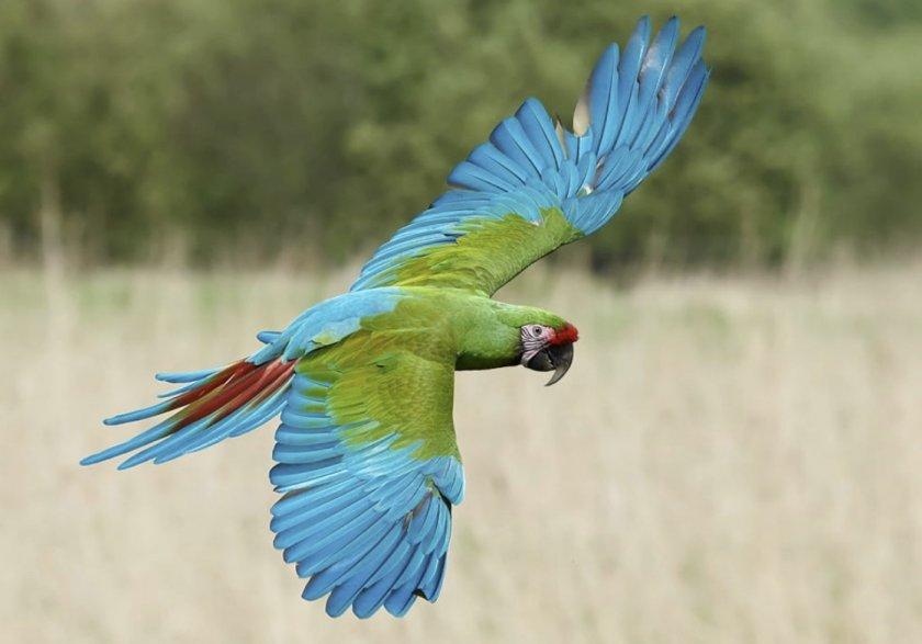 Солдатский ара в природе