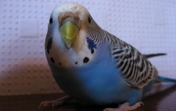 Слоится клюв у попугая (волнистого, кореллы): почему и что делать